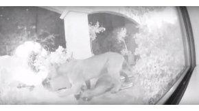 Una pareja filmó el ataque de un puma a un ciervo