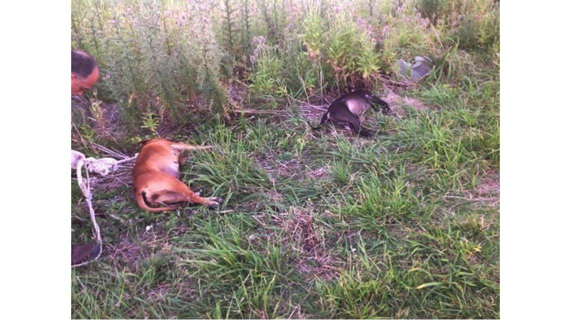 Así aparecieron los perros pitbulls muertos en Berisso.