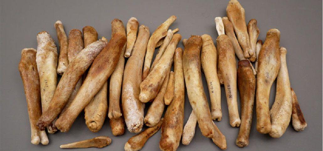 Distintos huesos de pene o baculums