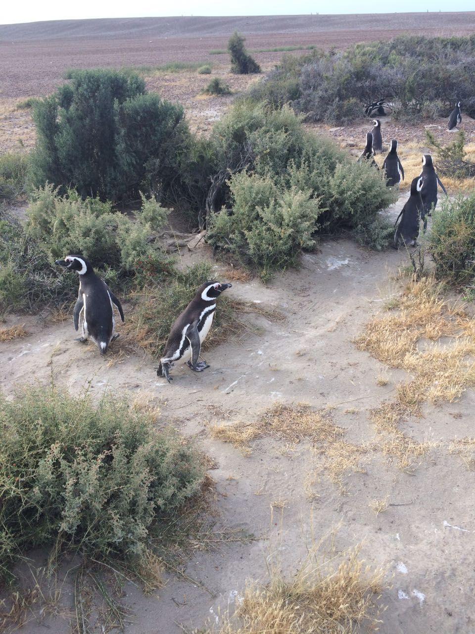 La estancia El Pedral tiene como gran atracción una pingüinera con 1800 parejas de estos animales