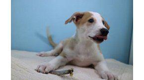 Anthony, el primer perro clonado del país (Foto gentileza Clarín)