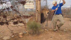 Un león atacó a su cuidador
