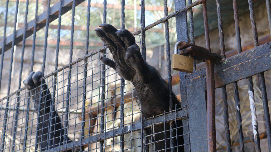 La chimpancé Cecilia será trasladada a Brasil