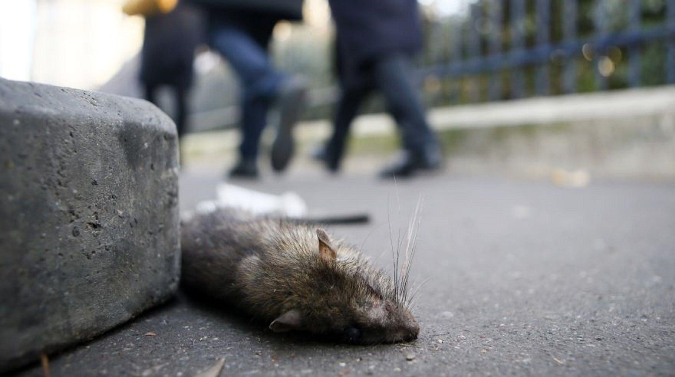 Invasión de ratas en París
