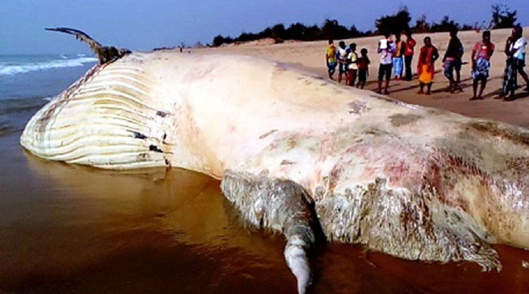 Encuentran al cadáver del pez más grande del mundo en una playa de India