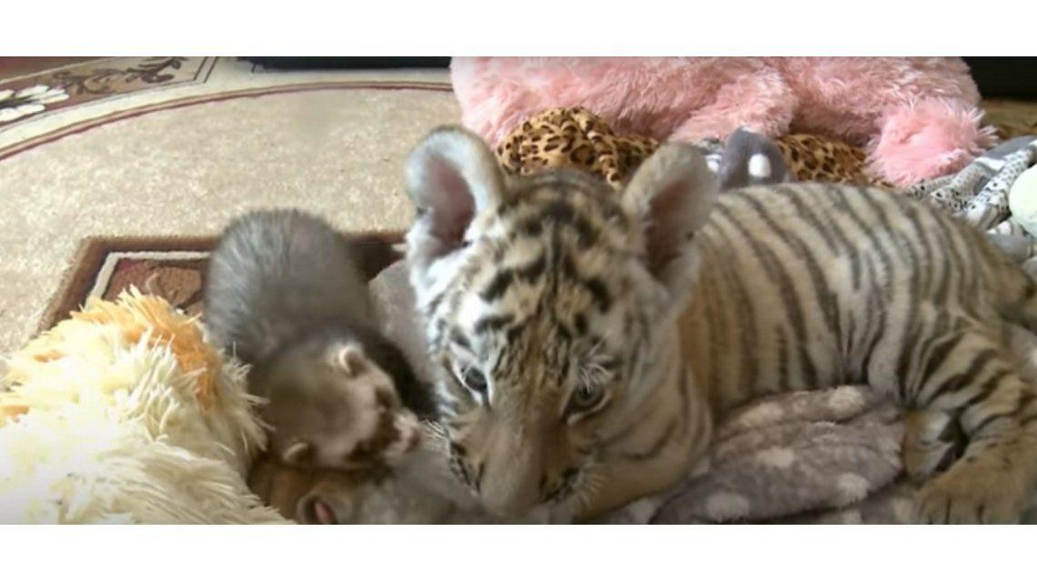 Un tigre y un hurón se hicieron amigos