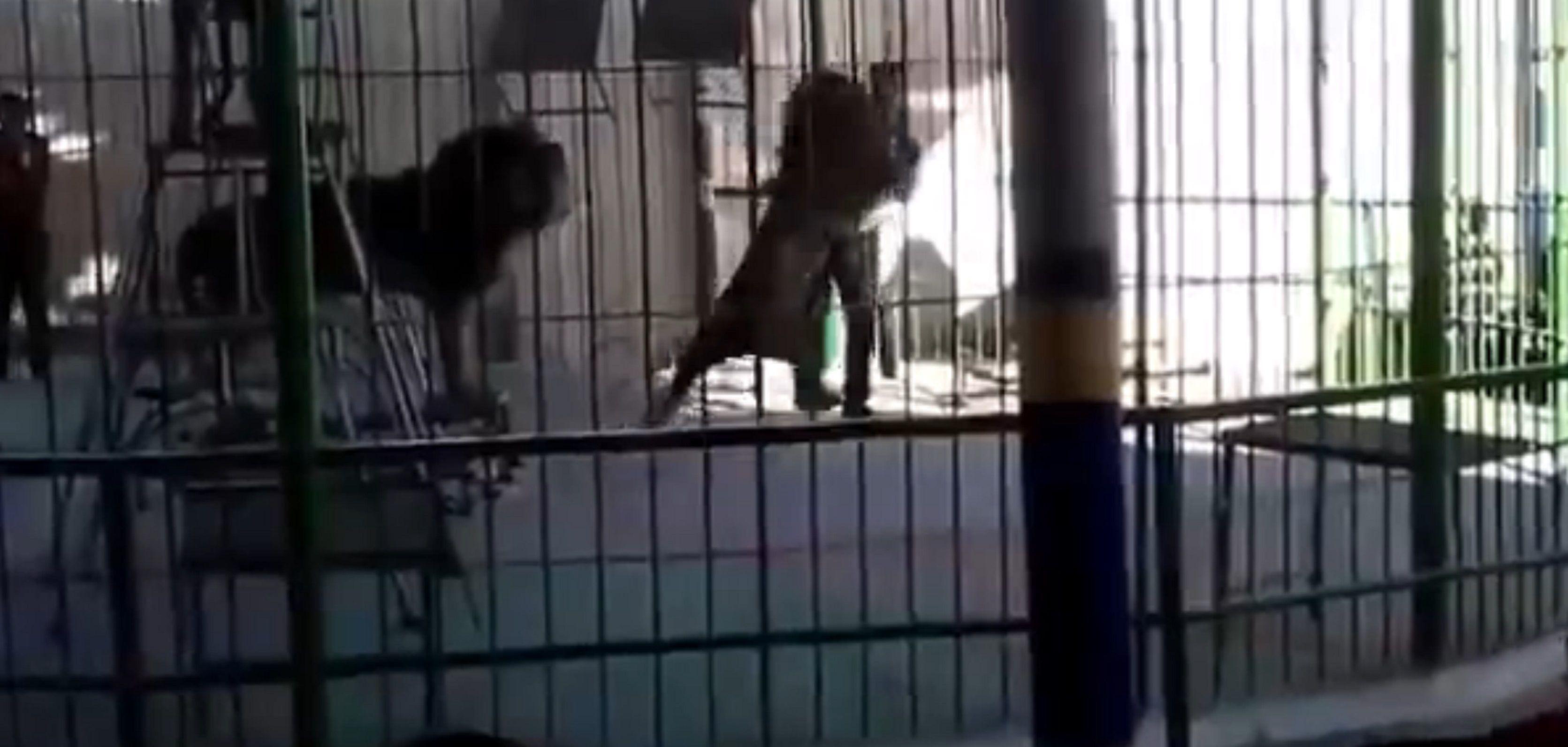 León atacó y mató a un domador