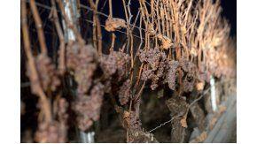 Las uvas Silvaner son las protagonistas