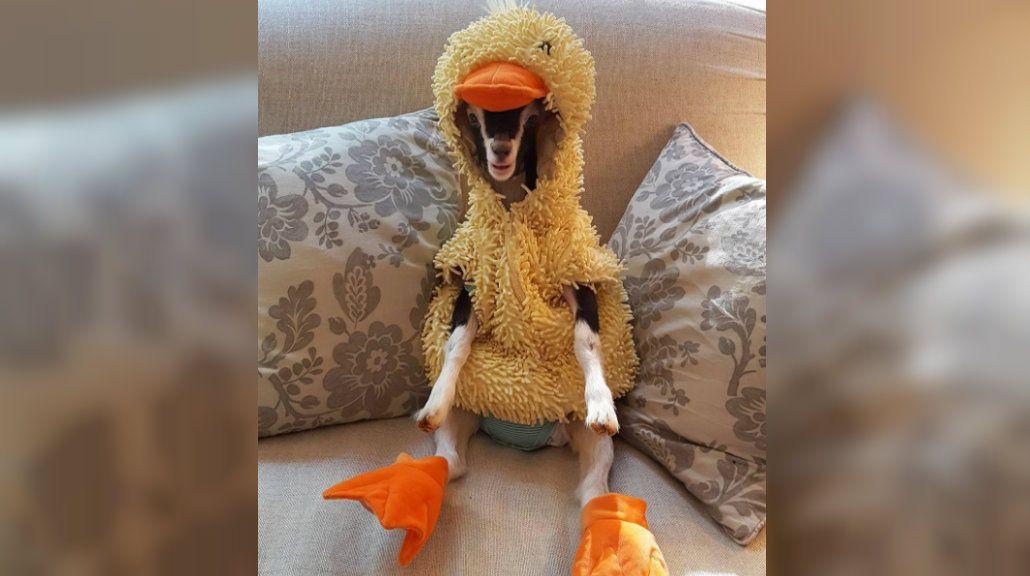 Polly ama su disfraz de patito