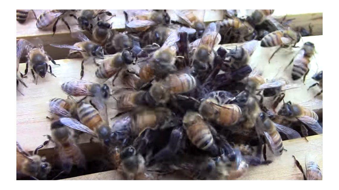 El ataque mortal de un enjambre de abejas a una araña