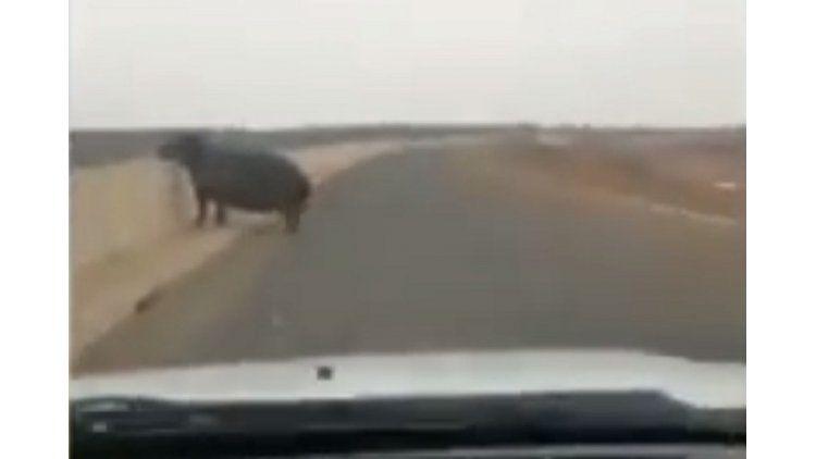 Un hipopótamo chocó un auto
