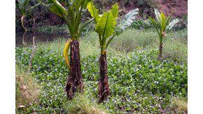 Una mujer, acechada por un cocodrilo del Nilo
