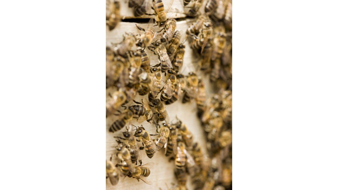 Enjambre de abejas - Imagen ilustrativa