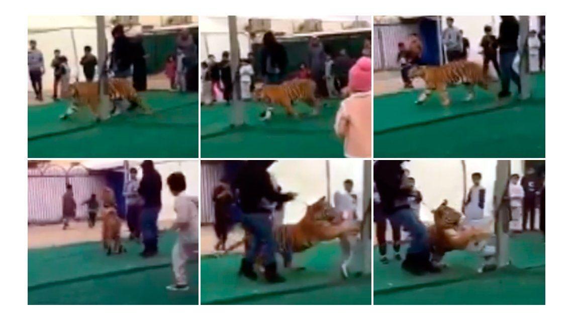 Un tigre atacó a una nena en Arabia Saudita.
