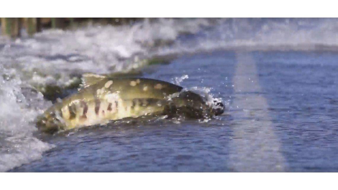 Salmones que cruzan la ruta