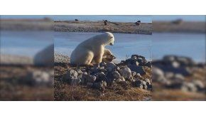 El oso polar que tiene un perro como mascota en Canadá