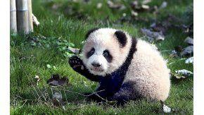 Peanut, el panda bebé que dio sus primeros pasos
