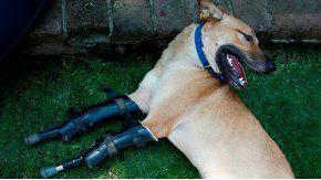 El perro camina con prótesis en las patas delanteras
