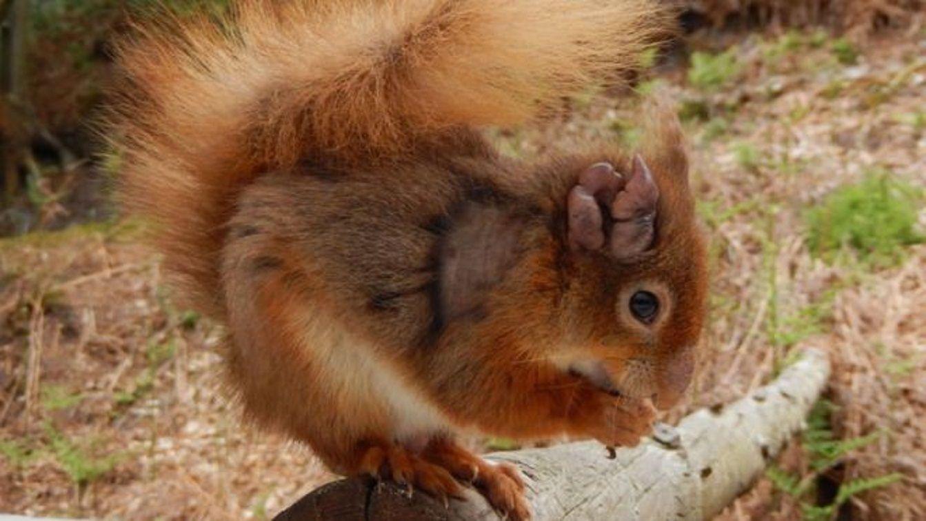 Ardilla roja con lepra en Gran Bretaña - Crédito:Dorset Wildlife Trust