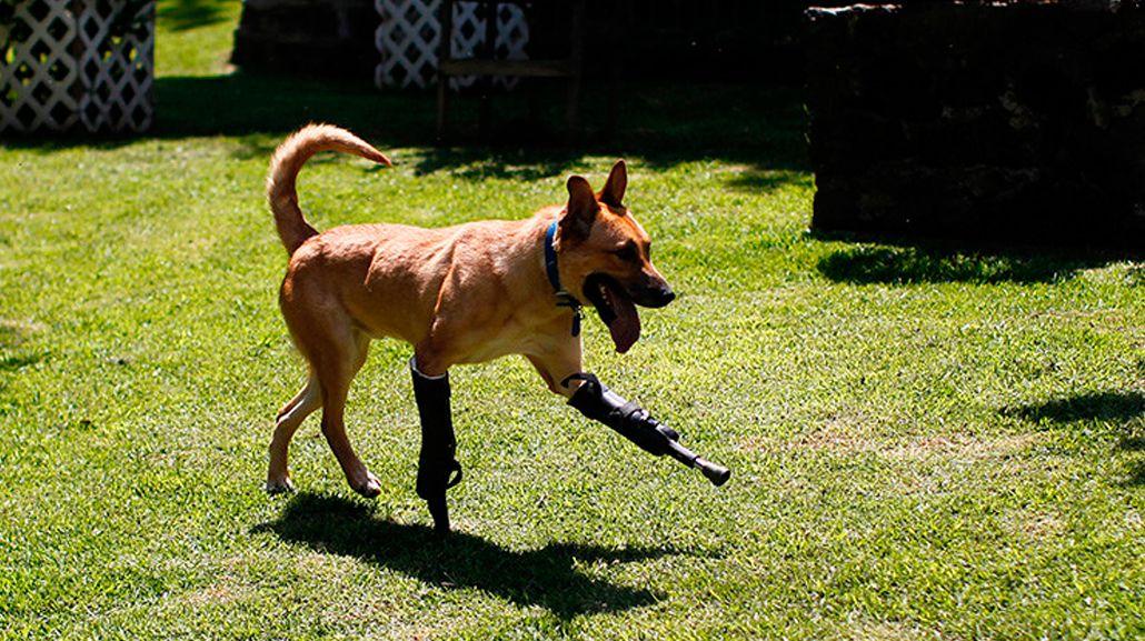 El perro camina con dos prótesis en sus patas delanteras