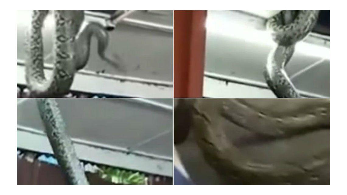 Una serpiente enorme rompió el techo de un restaurante en Japón.