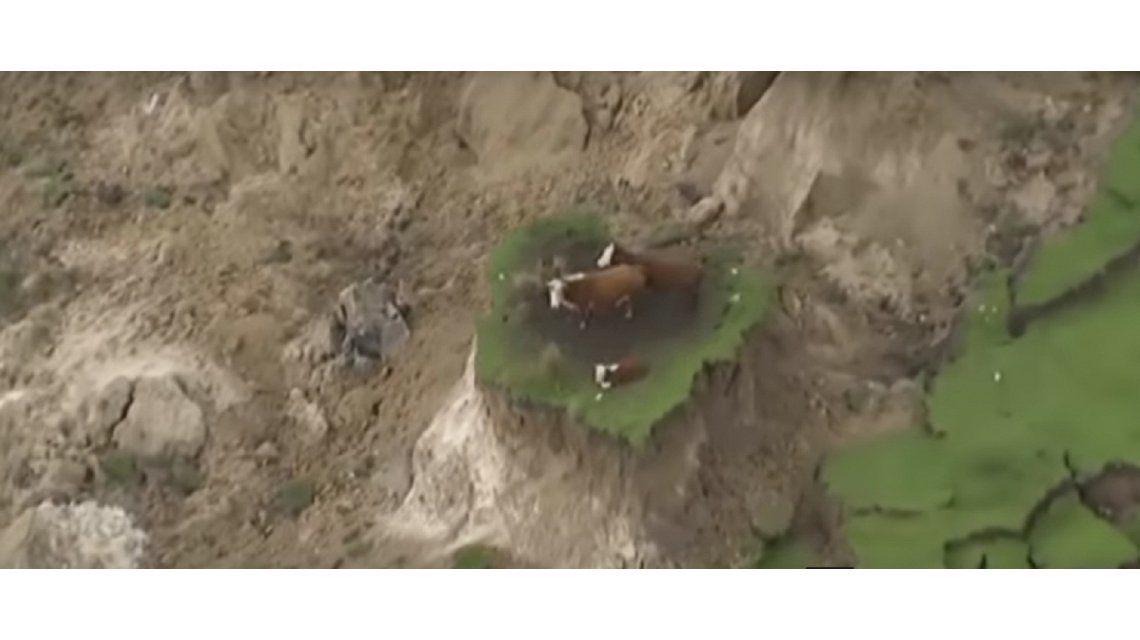 Tres vacas atrapadas tras el terremoto de Nueva Zelanda