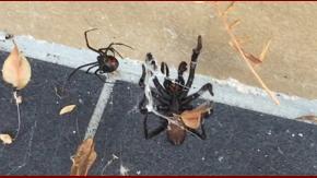 El veneno de estas arañas puede matar a un hombre en 15 minutos