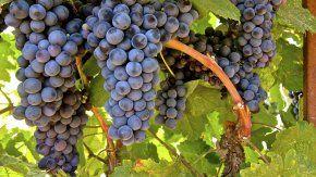 Tannat, la clásica uva del vino en Uruguay