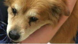 Che, el perro que rescató a su dueña de un incendio.