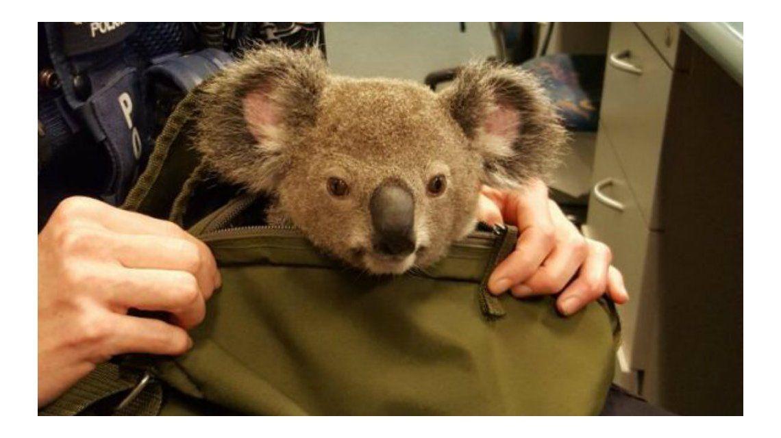 El pobre koala vivió el viaje de su vida