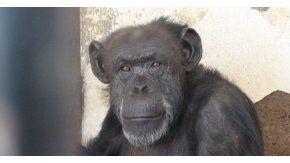 La chimpancé Cecilia está en el Zoológico de Mendoza y será trasladada a un santuario en Brasil - Crédito: www.publico.es