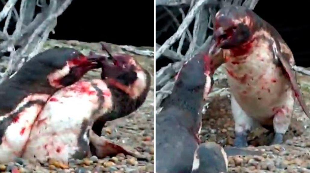 Un  pingüino encontró a su pareja con otro y se desató una violenta pelea.