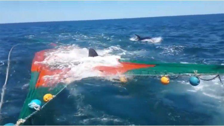 Un lobo marino se subió a una red de pescar para escapar del ataque de dos orcas.