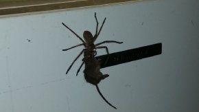 La araña cazó a una rata más grande que ella