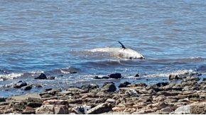 En un principio se creyó que el zífido encontrado muerto en Vicente López era una ballena bebé.