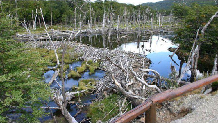 Ponen en marcha el plan nacional para erradicar castores en Tierra del Fuego.