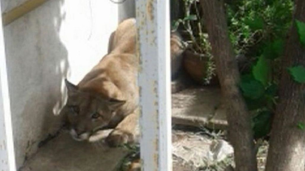 Un puma sorprendió a los vecinos del barrio Ampliación Palmar en Córdoba.