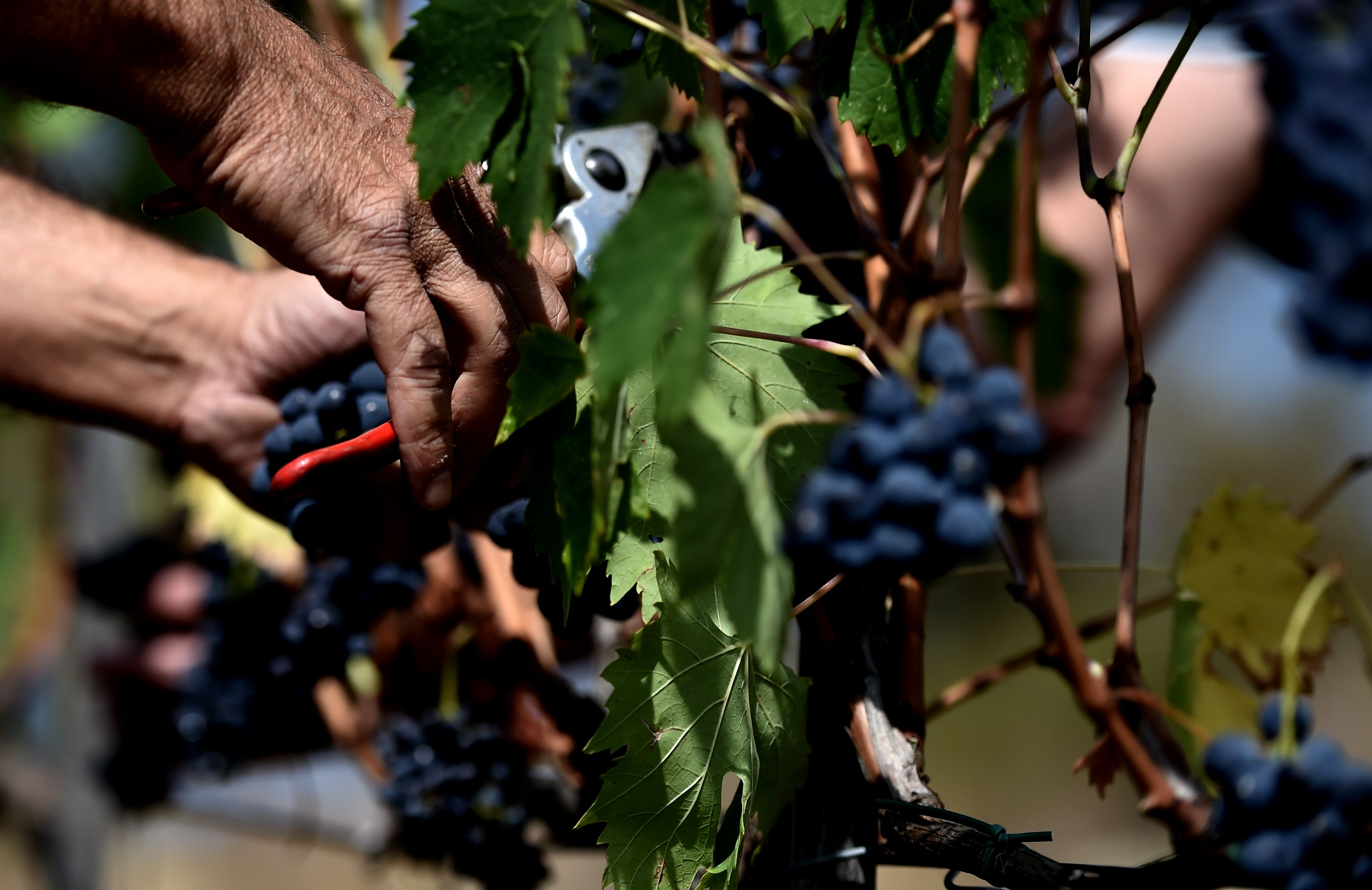 La cosecha de la uva sangiovese