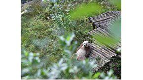 Qizai, el oso panda que sufrió una dura infancia