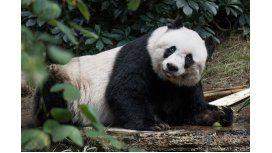 A los 38 años, murió Jia Jia, el oso panda en cautiverio más viejo del mundo