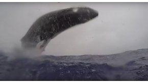 El momento en el que una ballena pega da un salto espectacular