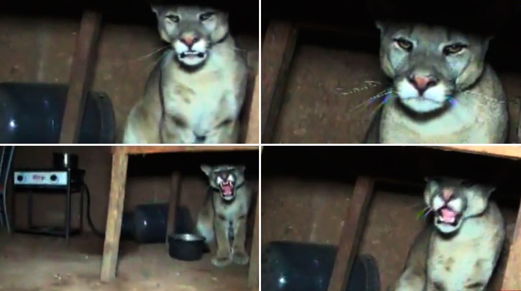 El animal estaba escondido debajo de una mesa