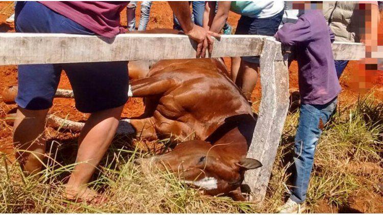 Uno de los caballos que murió en competencia. Gentileza de La Voz de Misiones