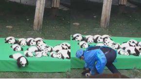 Panda bebé cayó de cabeza al piso durante su presentación en público