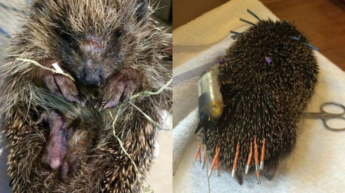 Denuncian crueldad animal por un erizo que murió por un estudio de laboratorio