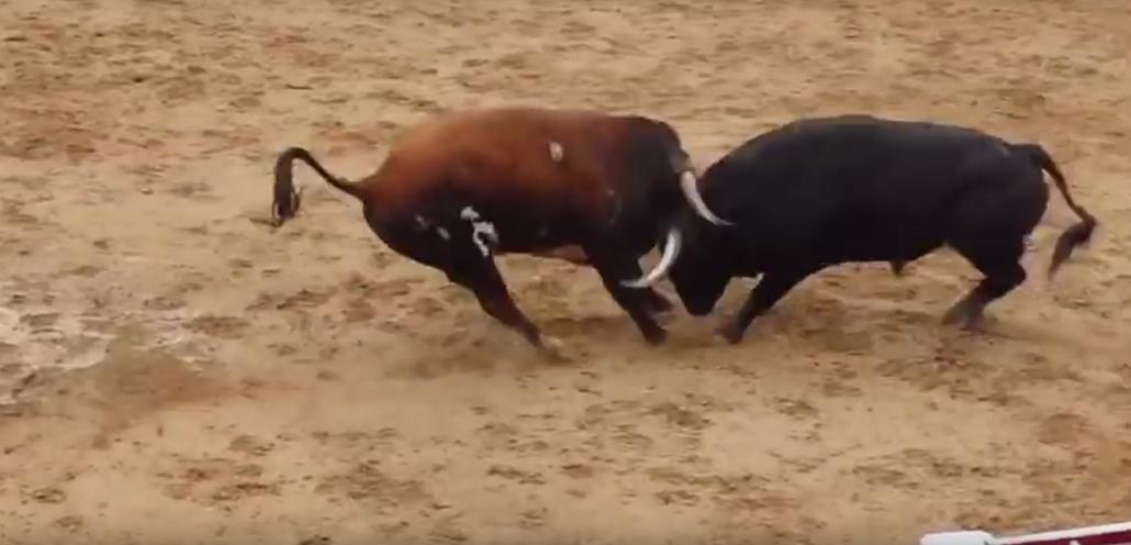 VIDEO: dos toros murieron en un tremendo choque de cabezas