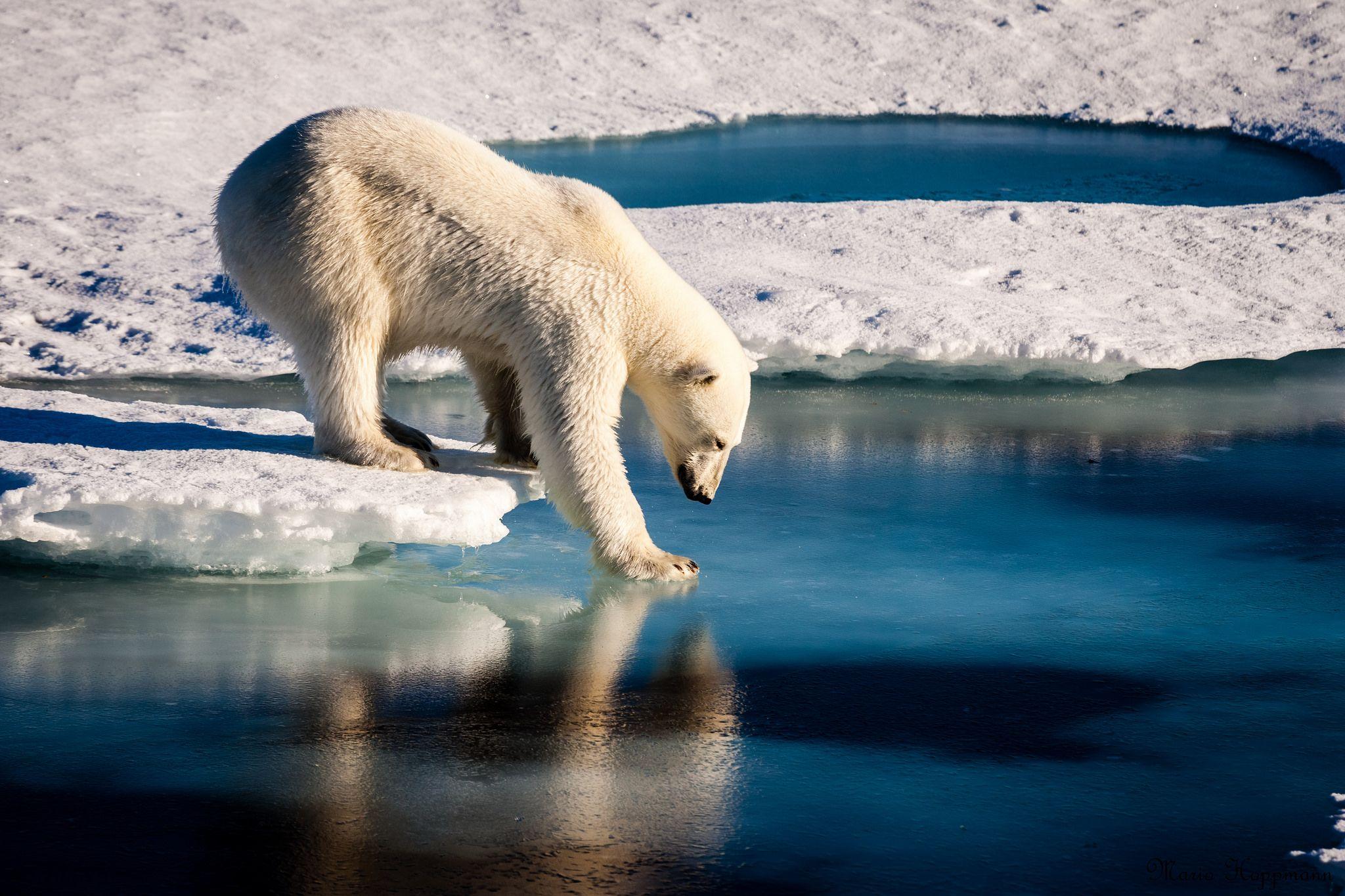 Calentamiento global: el miedo del oso polar y una foto que se volvió viral