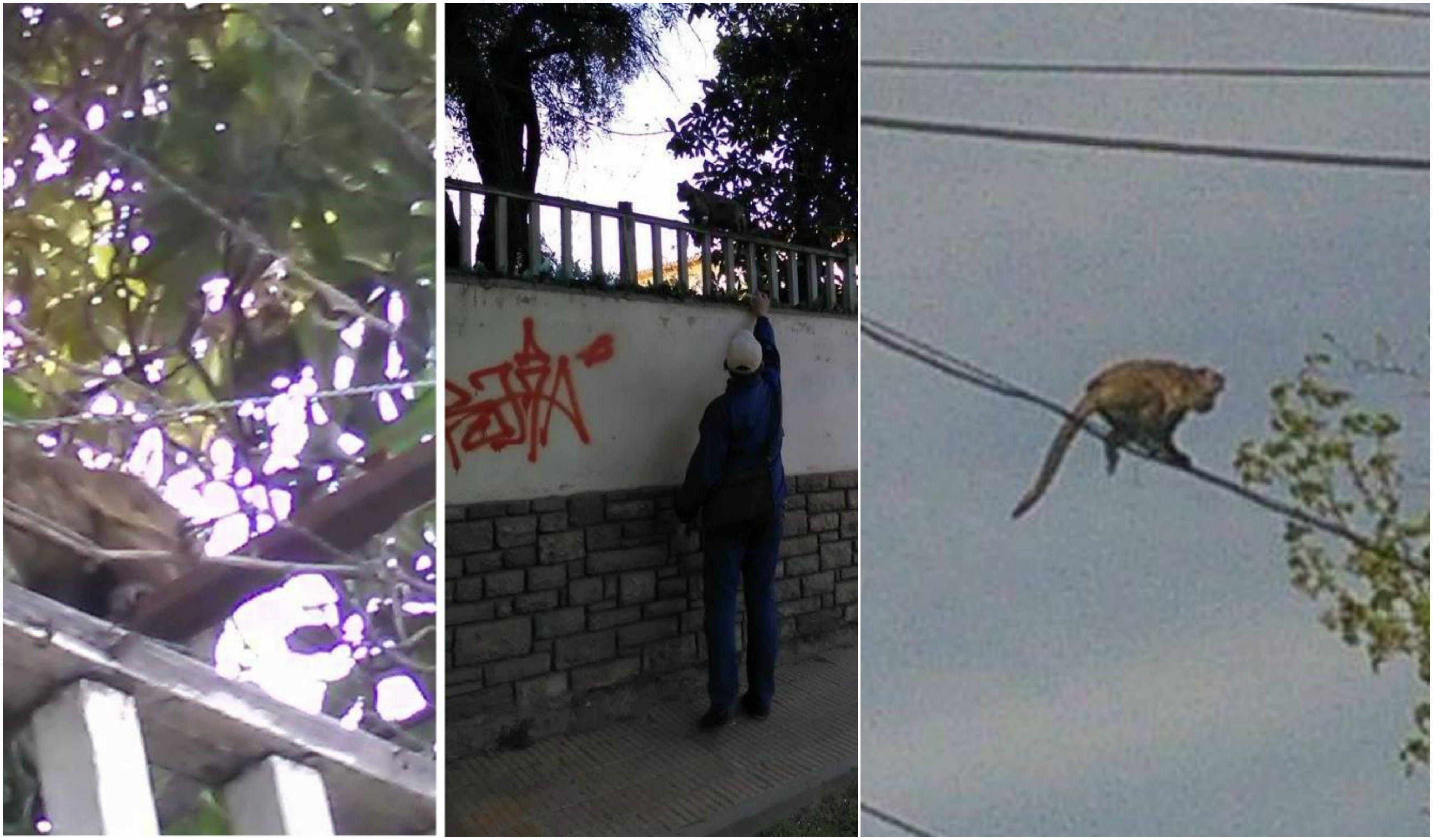 Intensa búsqueda de un mono en las calles de Mendoza