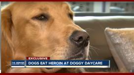 Perros intoxicados con 17 bolsas de heroína