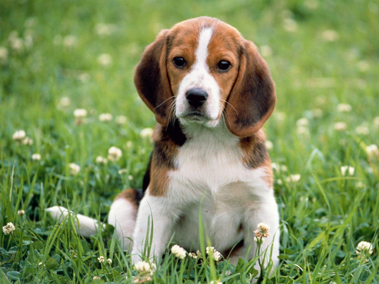 Polémica por una universidad que lastimó y sacrificó a seis perros Beagle